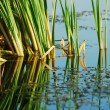 Reeds at the lake — Stock Photo