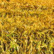 Golden glowing dry grass — Foto de Stock