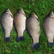 The Crucian Carp (Carassius carassius) — Stock Photo