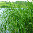 Reeds at the lake — Stock Photo #3259896
