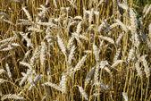 Grain field — Stockfoto
