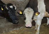 Cows in a cowshed — Stock Photo