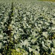 Rows of cabbage on cultivated field — Zdjęcie stockowe