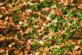 Colored maple leaves background — Stock Photo