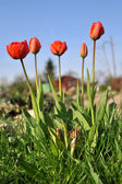 Spring flowers (tulips) — Foto Stock