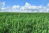 Campo da colheita verde — Foto Stock