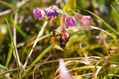 A closeup shot of a bumblebee — Stock Photo