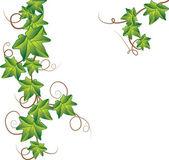 Green ivy. Vector Illustration — Stock Vector