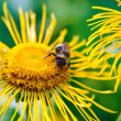 Bee Pollinating Sunflower — Stock Photo