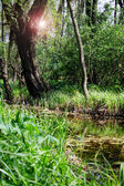Sun rays in the swamp — Stock Photo