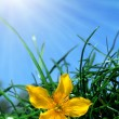 Yellow flower with green grass - Stock Photo