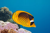 Closeup of butterfly fish - Red Sea — Stock Photo