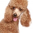 Apricot poodle puppy portrait — Stock Photo