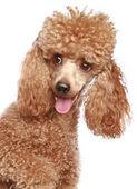 Apricot poodle puppy portrait — Stock Photo