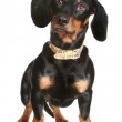 Black and brown dachshund puppy — Stock Photo #2936666