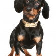 Black and brown dachshund puppy — Stock Photo