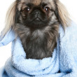 Pekingese dog wrapped in a blue towel — Stock Photo
