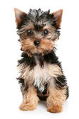Chiot yorkshire terrier — Photo