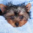 Yorkshire Terrier puppy (2 month) — Stock Photo