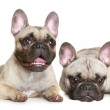 Two French bulldog puppy — Stock Photo #3659155