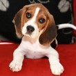 Happy beagle puppy — Stock Photo #3724911