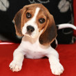Happy beagle puppy - Stock Photo