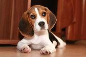 Cachorro beagle — Foto de Stock