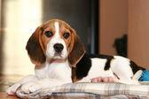 Bígl štěně — Stock fotografie