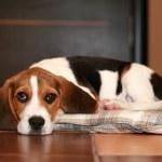 Постер, плакат: Beagle puppy