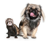 Pekinese and ferret — Stock Photo