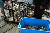 Crabbing — Stock Photo