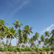 Coconut palm and blue sky — Stock Photo