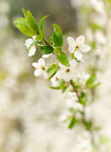 Spring white blossoms — Stock Photo