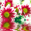 Closeup of pink daisy-gerberas reflected in water — Stock Photo #3362769