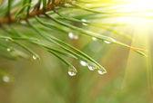 Water drops at fir tree — Stock Photo
