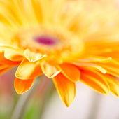 Closeup photo of yellow daisy-gerbera — Stock Photo