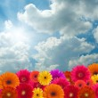 Stock Photo: Daisy flowers on blue sky background