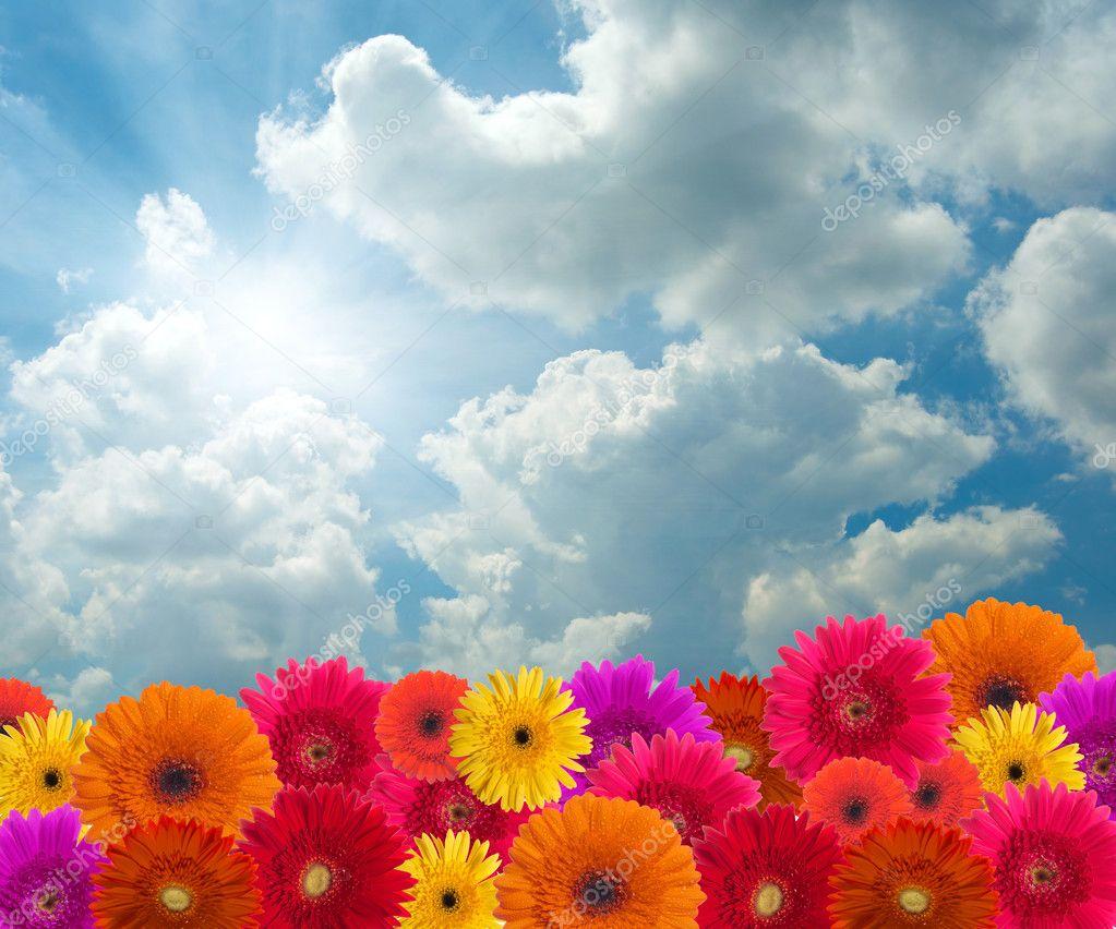 Daisy flowers on blue sky background stock photo 169 silverjohn