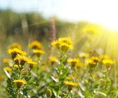Yellow field flowers — Stock Photo