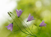 Campanula bell-fowers — Stock Photo