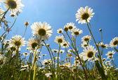 White daisies on blue sky background — Stock Photo