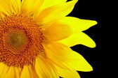 Part of sunflower on black background — Stock Photo