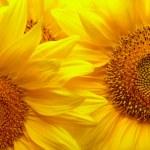 Sunflowers background — Stock Photo #3556494