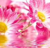 Closeup of two pink daisy-gerbera with waterdrops — Stock Photo