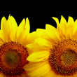 Two sunflowers on black background — Stok fotoğraf