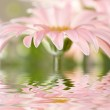 Pink daisy-gerbera with soft focus reflected in the water — Stock Photo