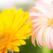 Closeup of two daisy-gerbera — Stock Photo #3679283