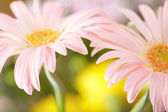 Closeup of two pink daisy-gerbera — Stockfoto
