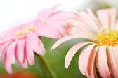 Closeup of two pink daisy-gerbera. Shallow DOF — Stock Photo