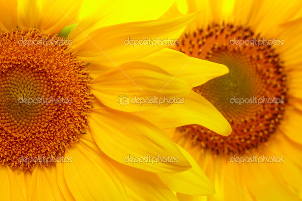 Sunflowers — Stock Photo #3718022